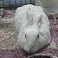 rabbit1152