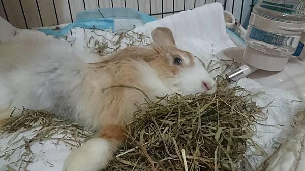 中途媽媽帶黃桃去兔醫師推薦的中醫評估針灸的可能性(也是焦糖之前去的醫院)