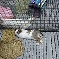 (44)勒馬&瑞奇(白兔).jpg