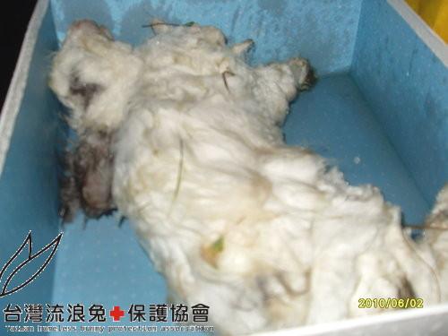 華江橋下羊圈棄兔之一-羽化天使.jpg