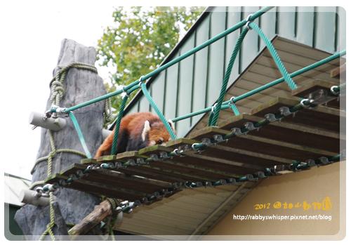 旭山動物園小浣熊