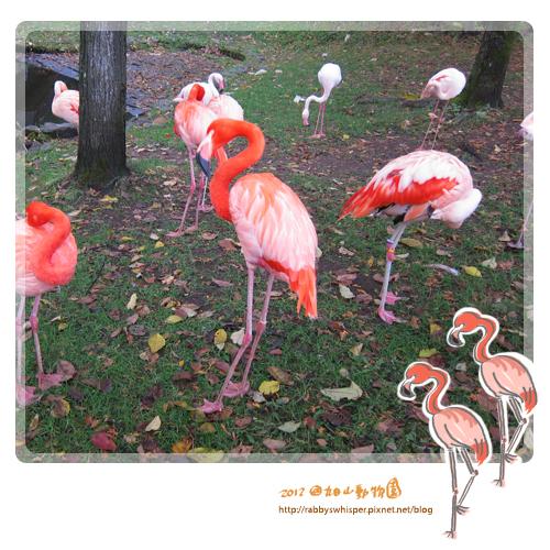 旭山動物園紅鶴