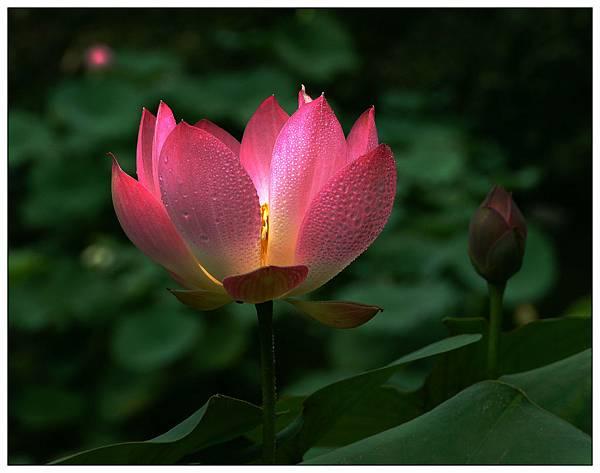 Mini Red Lotus