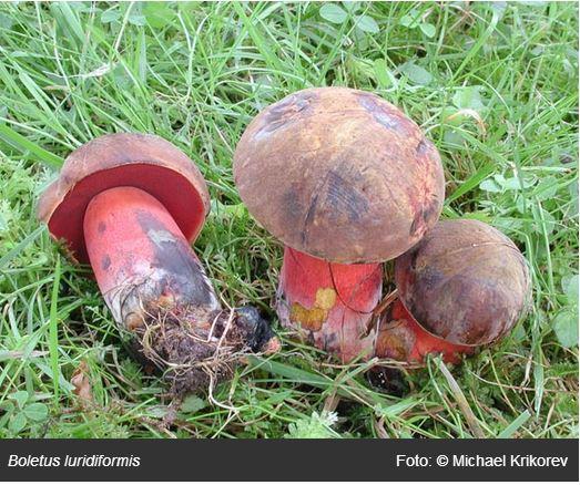 红柄牛肝菌