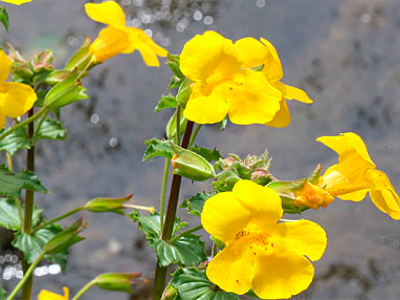 mimulusflower