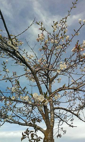 20130920白色的複瓣櫻花.jpg