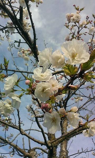 20130920美麗的複瓣櫻花
