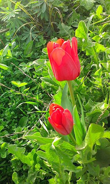 20130920秘密花園旁的鬱金香