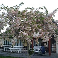 側院盛開的日本櫻花