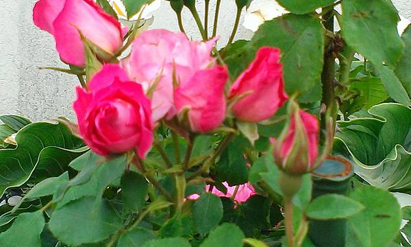 盛開的玫瑰花