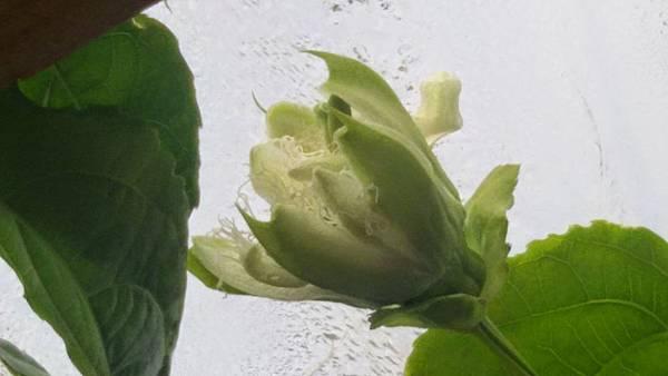 2014/5月底秋末了還開了好多朵百香果花