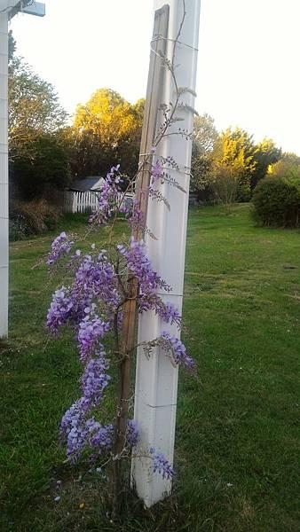 紫藤10.jpg