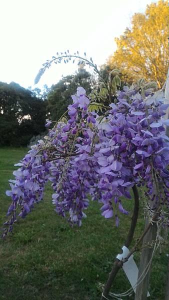 紫藤13.jpg