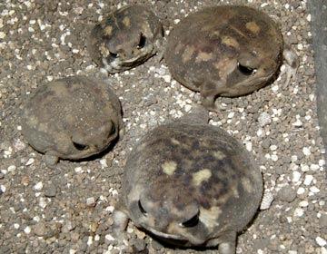 氣球蛙 (Greater balloon Frog)