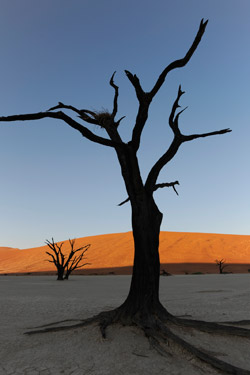 camel-thorn-tree-vertical-250