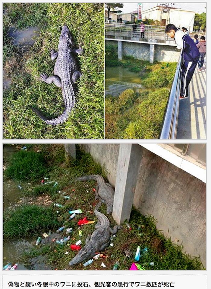 深圳冬眠鱷魚遭遊客扔石砸死