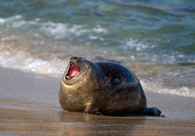 海豹  笑點最低的動物