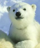 超可愛的丹麥小小北極熊