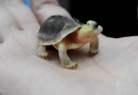 台灣獨眼龜