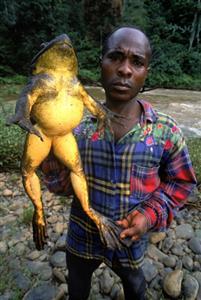 非洲巨蛙 Large-Frog