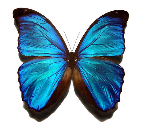 663px-Blue_morpho_butterfly.jpg