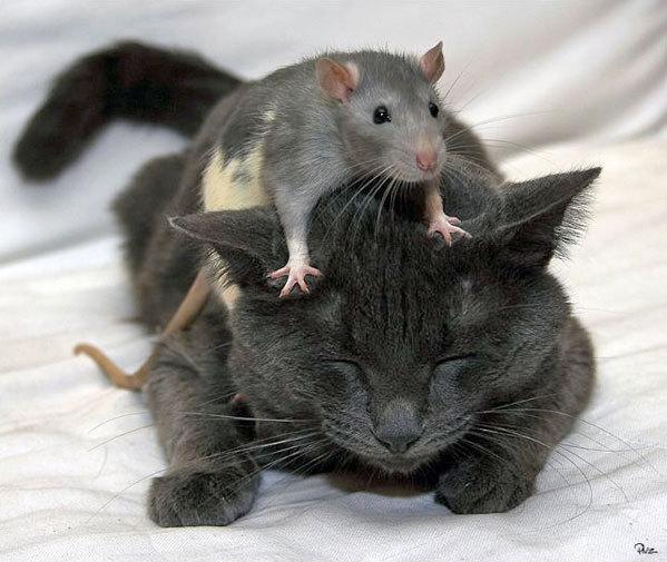 老鼠不怕貓.jpg