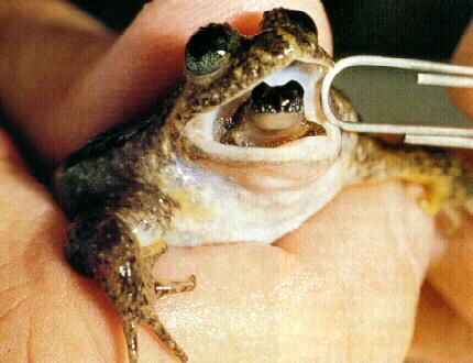 胃孵蛙  Gastric-brooding-frog1