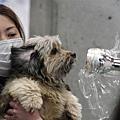 日本震災餘生的狗狗20.jpg