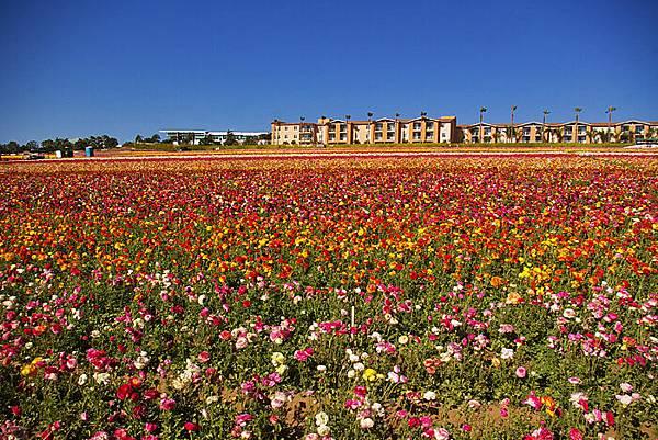 Carlsbad flower field-01