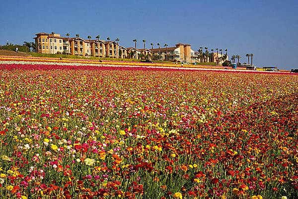 Carlsbad flower field-02