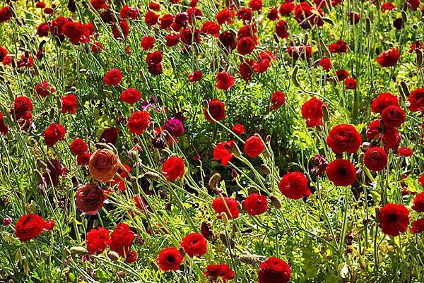 Carlsbad flower field-06