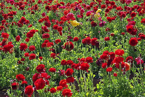 Carlsbad flower field-08