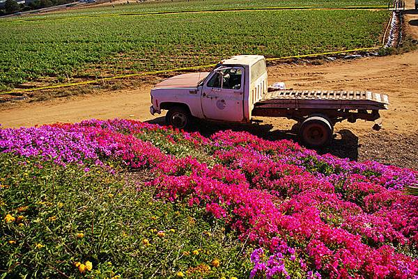 Carlsbad flower field-09