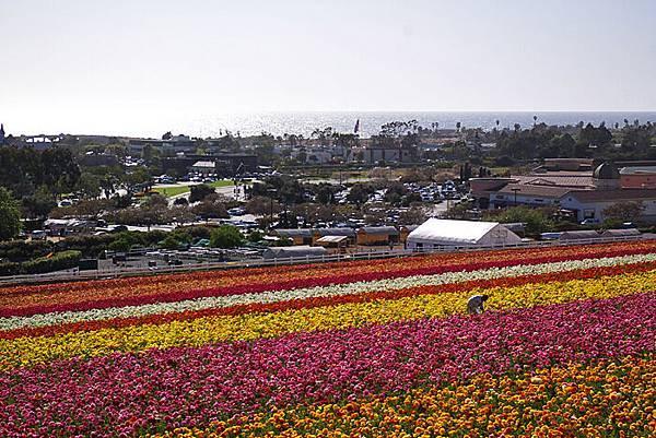 Carlsbad flower field-10