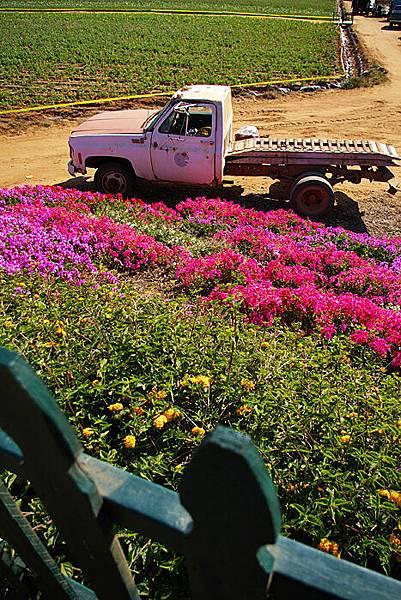Carlsbad flower field-11