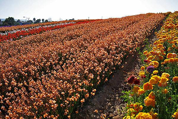 Carlsbad flower field-16