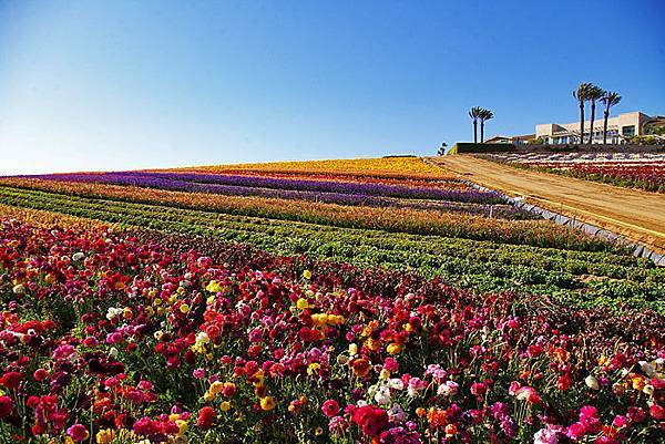 Carlsbad flower field-17