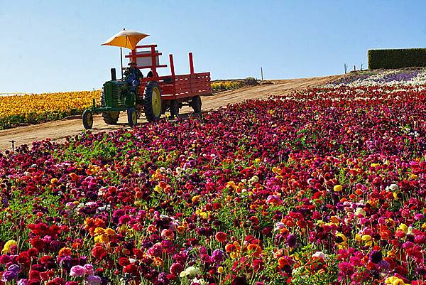 Carlsbad flower field-18
