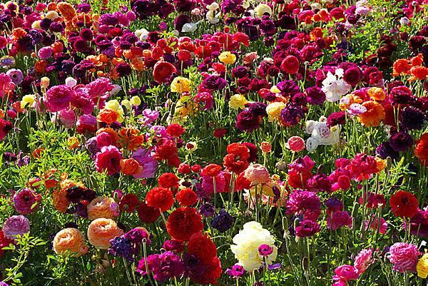 Carlsbad flower field-19