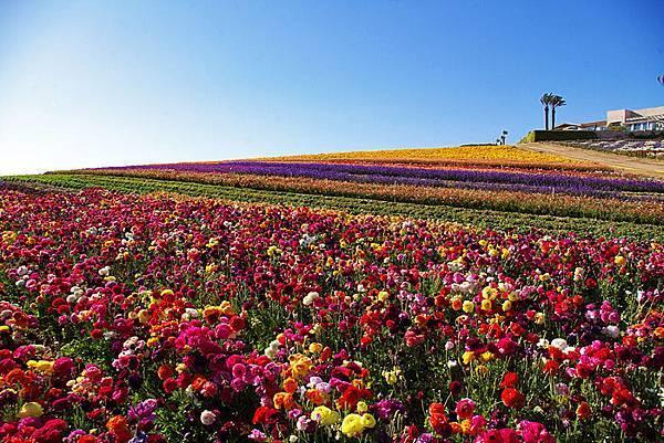 Carlsbad flower field-20