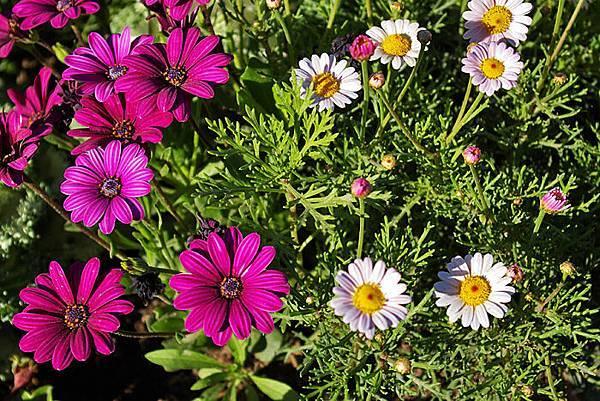 Carlsbad flower field-22