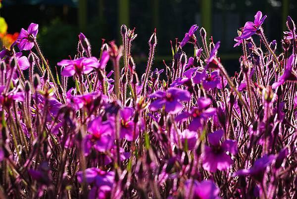 Carlsbad flower field-24