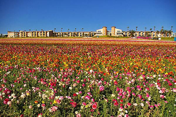 Carlsbad flower field-28