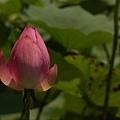 lily-cutoff1