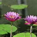 water-lily-jupiter37A-1