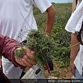 這就是澎湖特有的風茹草