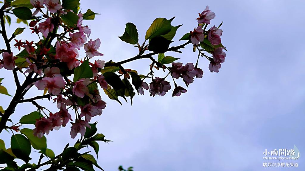 新北瑞芳|賞櫻新景點|瑞芳左岸櫻花步道|沿著河畔賞粉櫻、桃櫻、白櫻 (2).PNG
