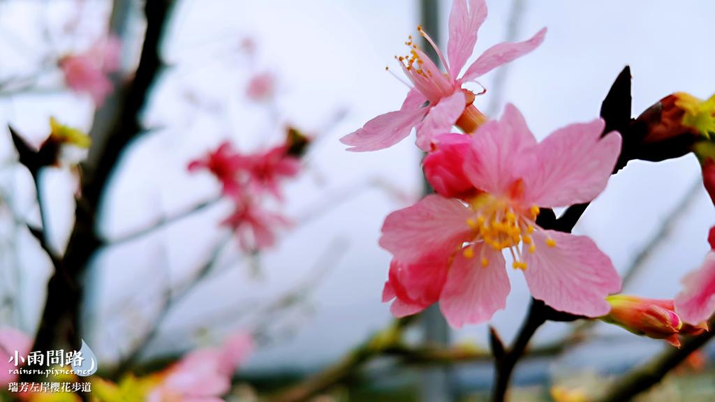 新北瑞芳|賞櫻新景點|瑞芳左岸櫻花步道|沿著河畔賞粉櫻、桃櫻、白櫻 (12).PNG