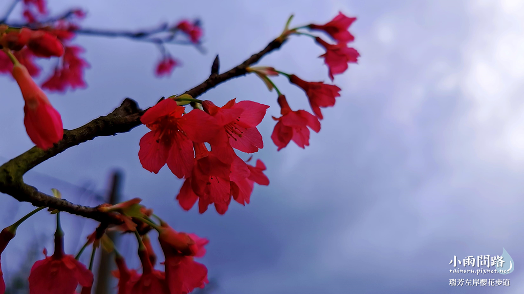 新北瑞芳|賞櫻新景點|瑞芳左岸櫻花步道|沿著河畔賞粉櫻、桃櫻、白櫻 (20).PNG