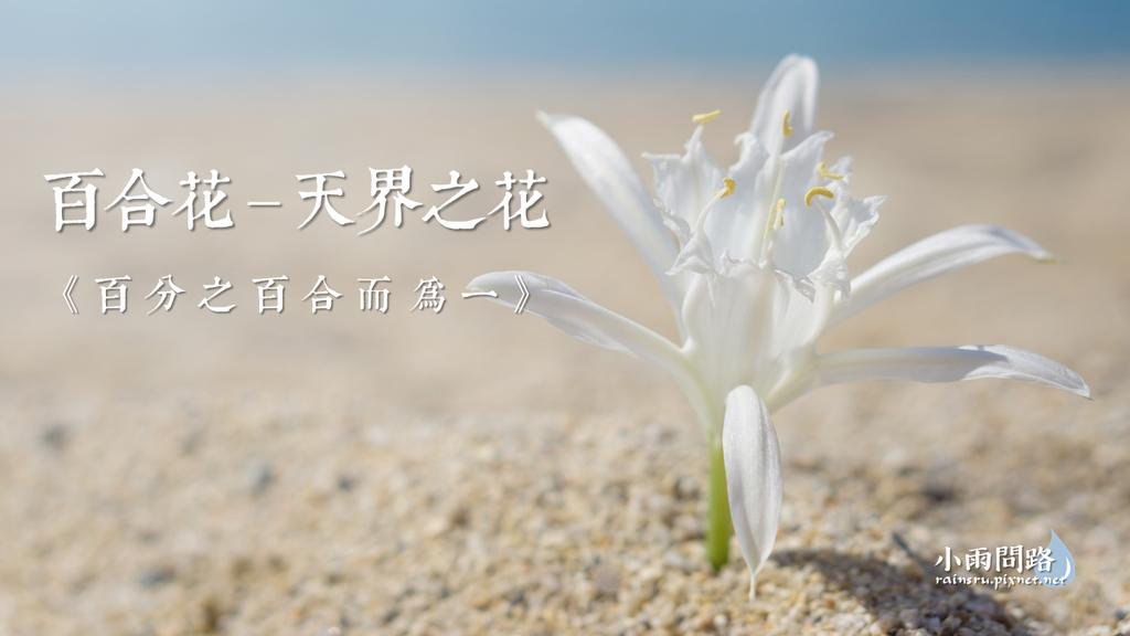百合花的美與象徵|天界之花|百分之百合而為一_小雨問路.png